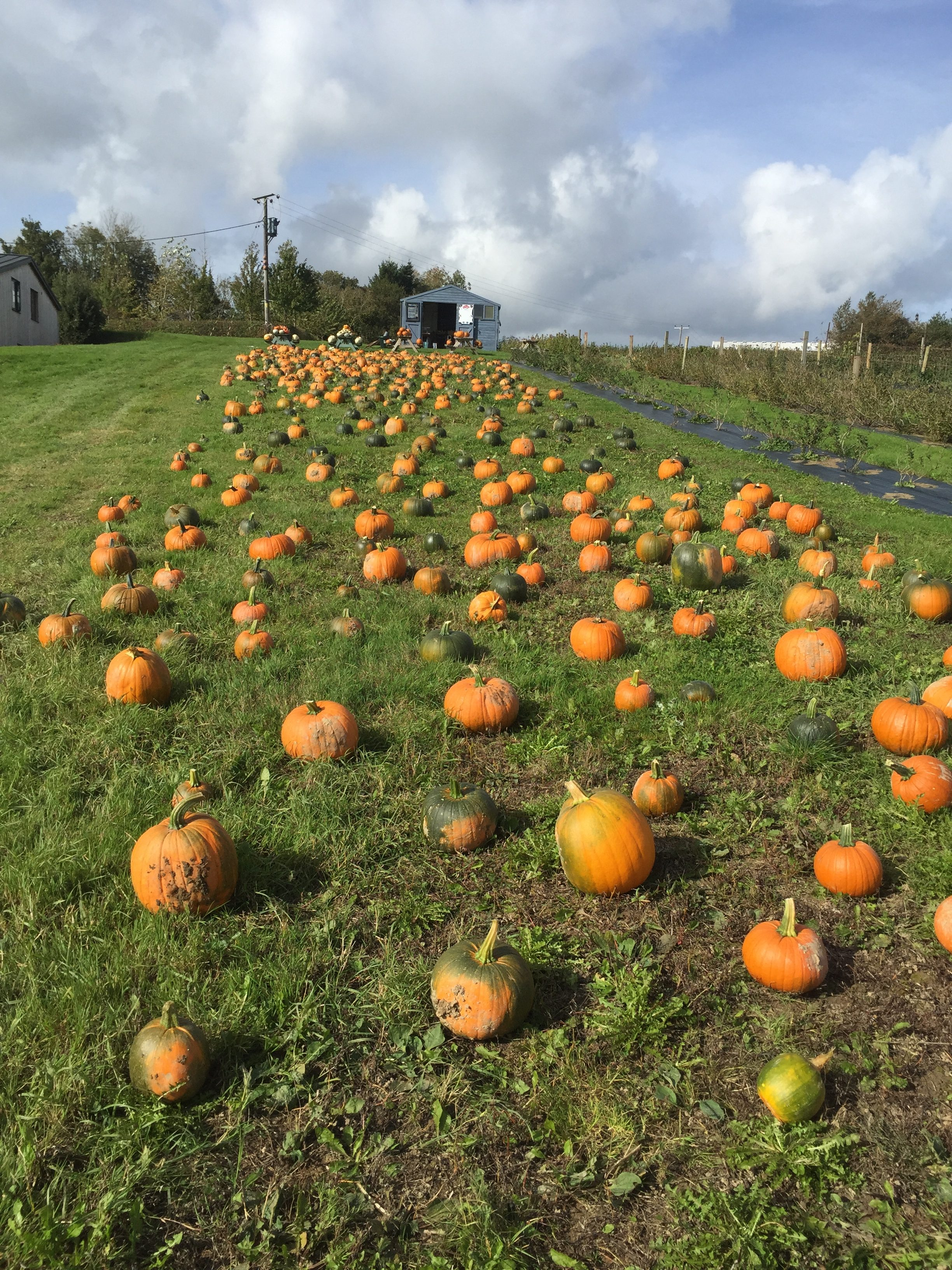 Sussex Pumpkin Patches